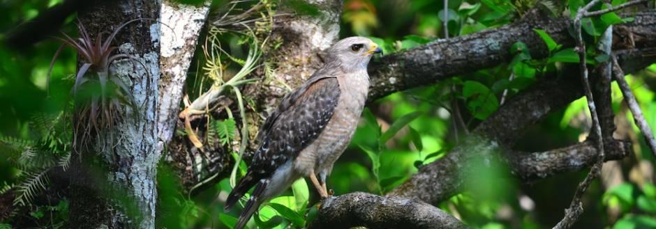 Hawk in Key West