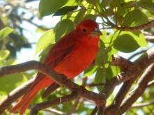 red bird in key west