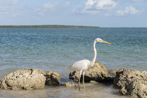 Great White Heron in Key West